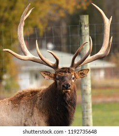 Wapiti (Cervus canadensis),americam elk farm in Wisconsin.