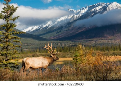 Wapiti deer in countryside