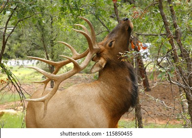 Wapiti Elk ((Cervus elaphus)) against in the Grand Canyon - Arizona usa