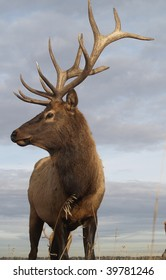 Wapiti Elk ((Cervus elaphus))  against an Alberta autumn sky