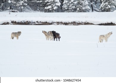 Wapiti Lake wolf pack howling in Yellowstone National Park