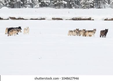 Wapiti Lake wolf pack in Yellowstone National Park.