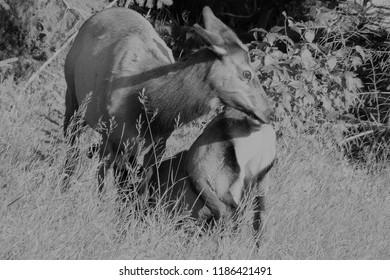 Wapiti mother and kid
