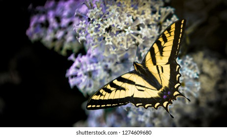 Wapiti Valley, Wyoming. Western Tiger Swallowtail Butterfly on Lilac Bush.