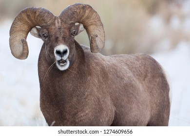Wapiti, Wyoming. USA. Bighorn Sheep with grass in his mouth.