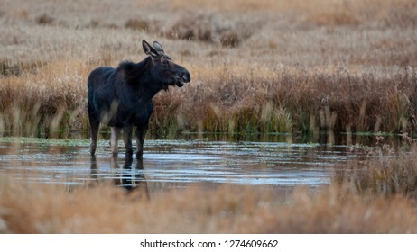 Wapiti Wyoming. USA. Female moose eating watercress in a pond.