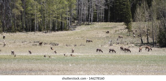 Wapiti's in the Rocky Mountains