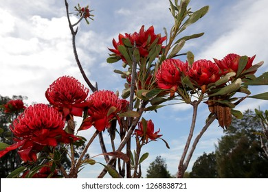 Waratah Australian Native Plant