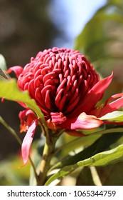 Waratah flower in a park