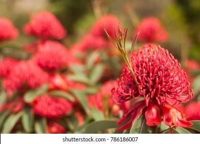 Waratah growing in forefront with waratah bush in background