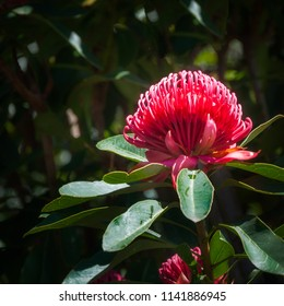Waratah is a native Australian genus of large shrubs or small trees with large flowers of bright red color. Here found in the wild at Mount Tomah Botanic Garden in the Blue Mountains, Australia.