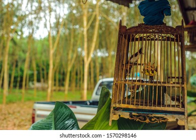 warbler in a cage in the courtyard of a Thai house