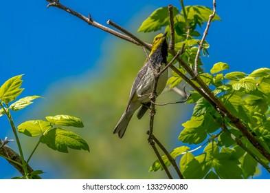 Warblers Spring Migration Magee Marsh Wildlife Area