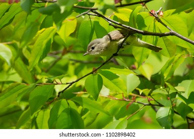 Warbling Vireo perched on a branch looking for bugs to eat. High Park, Toronto, Ontario, Canada.