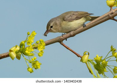 Warbling Vireo perched on a branch holding a bee in its beak. Ashbridges Bay Park, Toronto, Ontario, Canada.