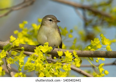 Warbling Vireo perched on a branch. Ashbridges Bay Park, Toronto, Ontario, Canada.