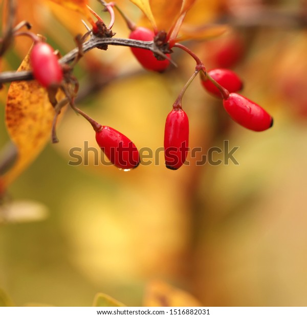 warm-autumn-background-yellowish-barberr