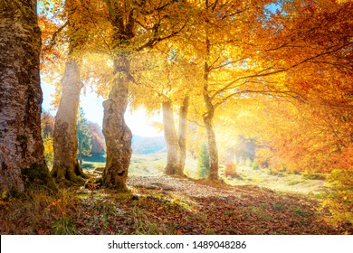 Warm autumn scenery in a forest, with the sun rays of light through the mist and golden trees