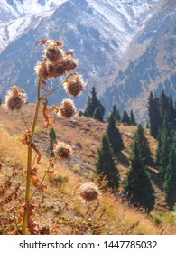 Warm autumn view of a dry thistle with a picturesque background of a fir-forest and snowy mountain slopes. Dry flowers (silybum marianum, cardus marianus, Scotch  thistle) in the autumn mountains.