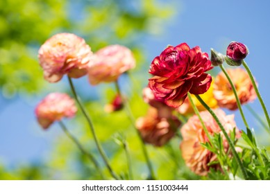 Warm color persian buttercup flowers in front of blurred green under blue sky