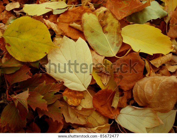 Warm colors of Autumn. Maple leaves covering the ground.