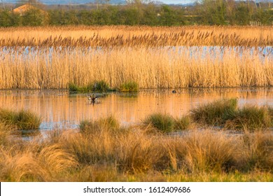 The warm evening sun hits reed beds at Wicken Fen Nature Reserve in Cambridgeshire, East Anglia, England, UK.