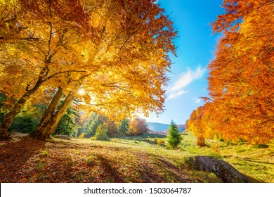 Warm and Golden Autumn in forest - colorful leaves and big trees, warm sunny day with blue sky