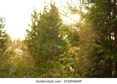 Warm light behind the pine trees - backlight photo - beautiful foliage during winter - sunlight bright