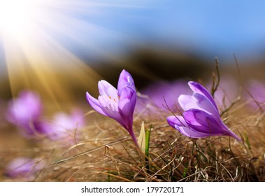 The warm rays of spring, flowers and crocuses