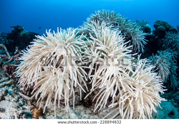 Warm sea surface temperatures cause corals in the western Pacific to begin to bleach. Bleaching occurs when symbiotic algae, known as zooxanthellae, are expelled from coral tissue.
