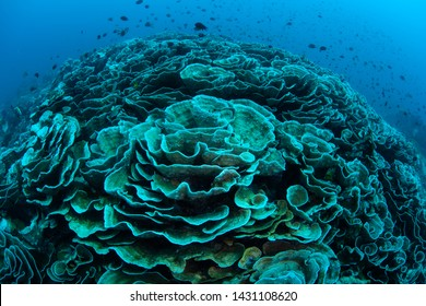 Warm sea temperatures have caused coral bleaching on a reef in Indonesia. Bleaching occurs when corals lose their symbiotic dinoflagellates, most often due to heat-related stress.