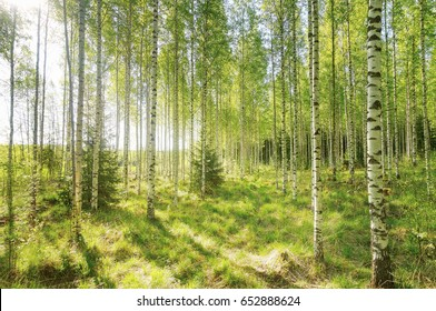 Warm spring morning in the forest with bright sunlight and sunbeams coming throught the trees.