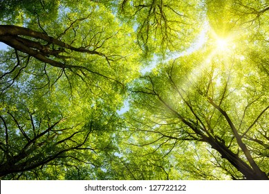 The warm spring sun shining through the canopy of tall beech trees