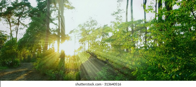 warm sunbeams in a forest panorama