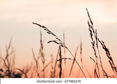 Warm sunset through the tall grass in Springfield, Missouri