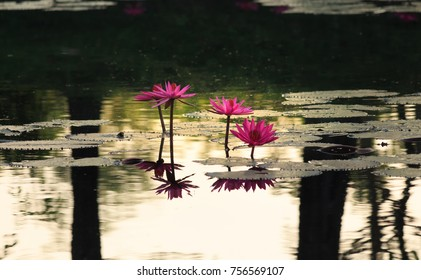 Warm water lily lotus background
