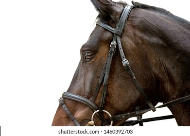 warmblood horse head closeup detail in sport harness isolated on white background