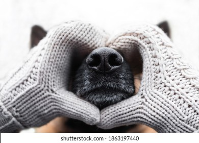 Warming up for winter. Valentine's day with man's best friend dog. Face of German shepherd dog close up of puzzle or calendar. Black leather dog nose in the heart of hands in knitted beige mittens.