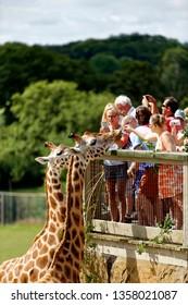 Warminster, Wiltshire UK - August 23 2012: People feeding giraffes at Longleat Safari Park