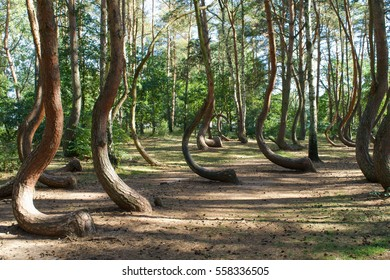 Warped trees of the Crooked Forest, Krzywy Las, in western Poland