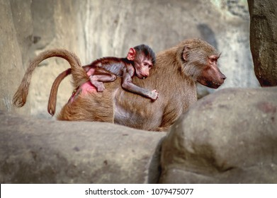 Warsaw, Poland - October 3, 2004: Hamadryas baboons in Zoological Garden called Warsaw Zoo in Warsaw, capital of Poland