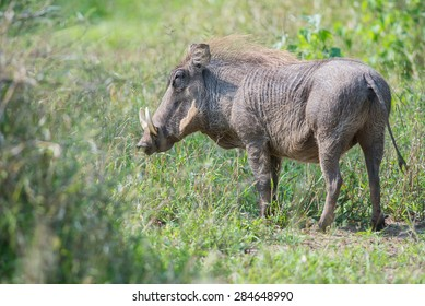 A warthhog with large tusks standing in a grassy field
