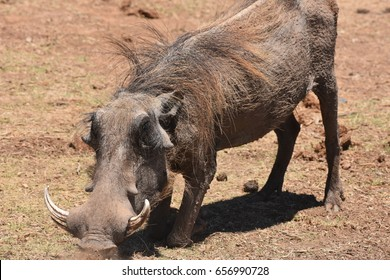 Warthog, Addo Elephant Park, Port Elizabeth, South Africa