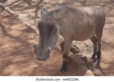 Warthog Africa