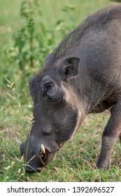 warthog African mammal mpumalanga kruger national park south africa