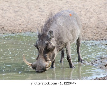 Warthog - African Wildlife - When you are thirsty, even the muddiest of water will do just fine.