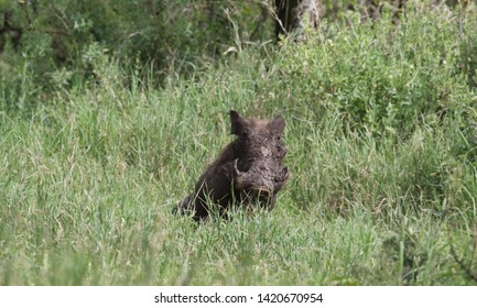 Warthog after a bath in the swamp. Tanzania