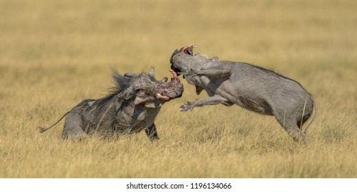 Warthog boars fighting