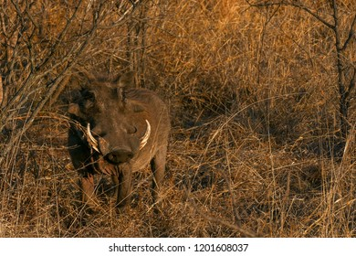 Warthog in the bush in the golden light of sunrise, Kruger National Park, South Africa