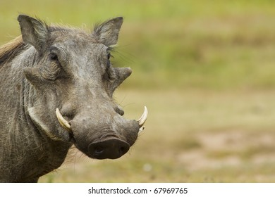 Warthog with copy space